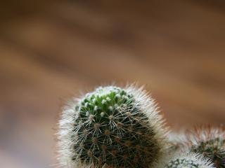 обои Маленькие отростки кактуса фото