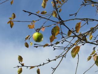 обои Одинокое яблоко на дереве фото