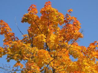 обои Осень раскрасила дерево фото