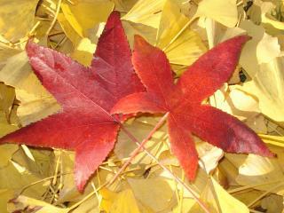 обои Красные и жёлтые осенние листья фото