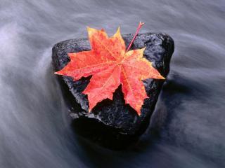 обои Кленовый лист на камне фото