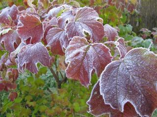 обои для рабочего стола: Первый заморозок на листьях