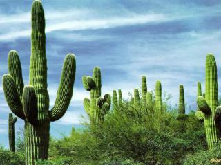 обои Мексиканские кактусы крупным планом фото