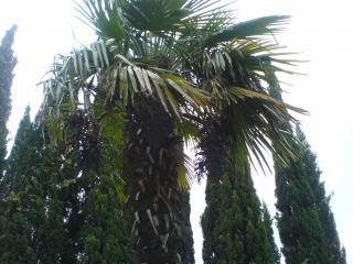 обои Виноградная пальма фото