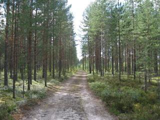 обои Дорога в сосновом лесу фото
