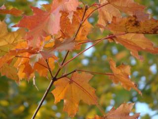 обои Красные листья на дереве фото