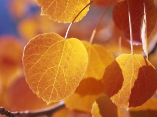 обои для рабочего стола: Жёлтые берёзовые листья