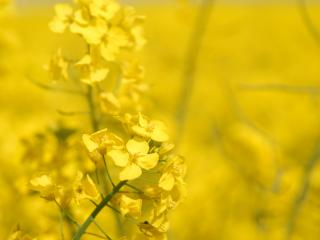 обои Желтые полевые цветы фото