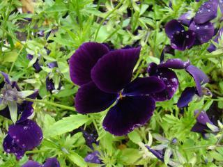 обои Фиолетовый цветок крупным планом фото