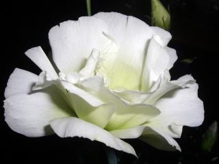обои для рабочего стола: Белый цветок крупным планом