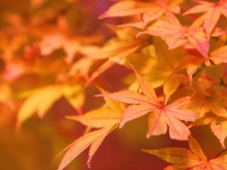обои Ярко-оранжевые и красные сочные листья фото