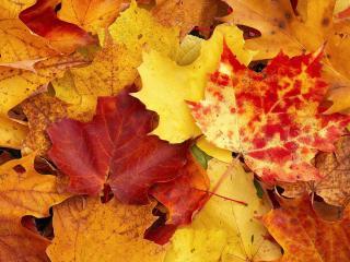 обои для рабочего стола: Много осенних листьев