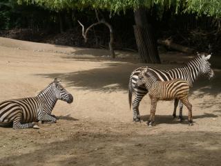 обои Взрослые зебры присматривают за малышом фото
