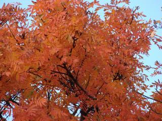 обои Осеннее дерево рябины фото
