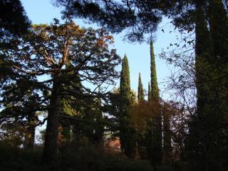 обои Мамонтовое дерево фото