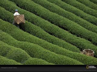 обои Сбор чая фото