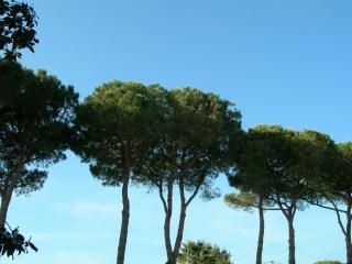 обои Крона деревьев, растущих на Тоскане фото