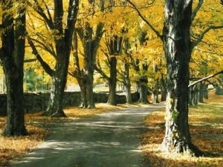 обои Желтые деревья и дорожка фото
