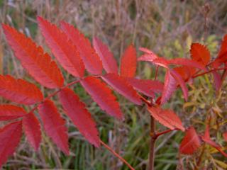 обои Красноватые листочки осеннего дерева фото