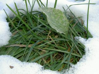 обои Протаявшая зеленая травка сквозь снег фото