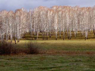 обои Стройные белые деревья на поляне фото