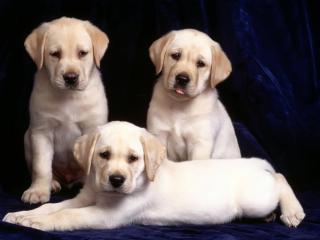 обои Три послушных щенка фото