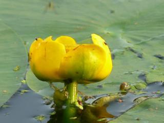 обои Желтая кувшинка на воде фото