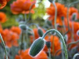 обои Оранжевые маки крупным планом фото