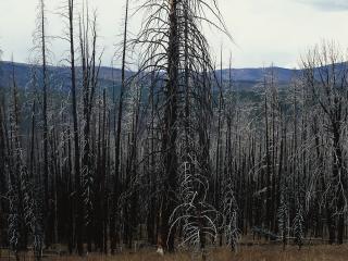 обои Стволы деревьев фото