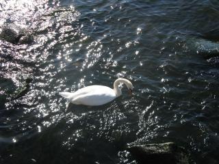 обои Одинокий лебедь фото