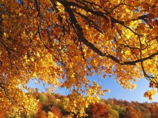 обои Клен осенью фото