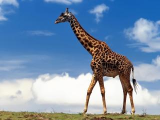 обои Одинокий жираф бродит фото