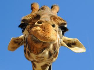 обои Интересная голова жирафа фото
