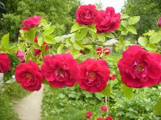 обои Несколько роз фото