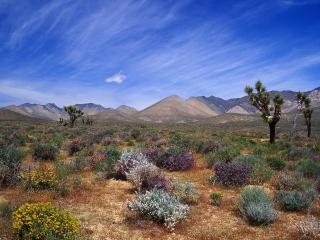 обои Цветок пустыни,   сохранение Калифорнийской пустыни фото