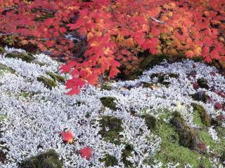 обои Осенний Клен Виноградной лозы и Лишайники фото