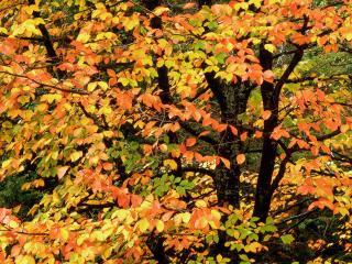 обои Буковое Дерево Осенью,   Вашингтонский Парк,   Портленд фото