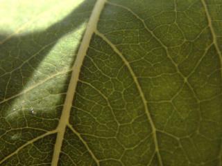 обои Большой лист зеленый фото