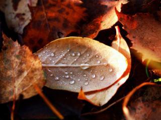 обои Капельки на осеннем листе фото