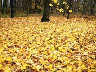обои Желтые листья на земле в лесу фото