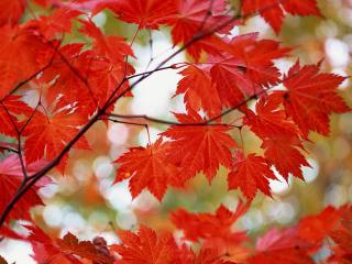 обои Красные листики фото