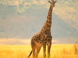 обои Африканский жираф фото