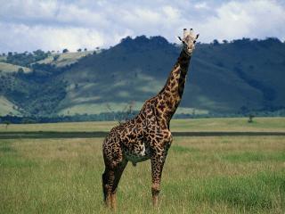 обои Жираф смотрит в камеру фото