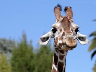 обои Жираф крупным планом фото