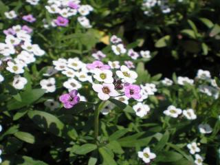 обои Белые и фиолетовые цветы фото