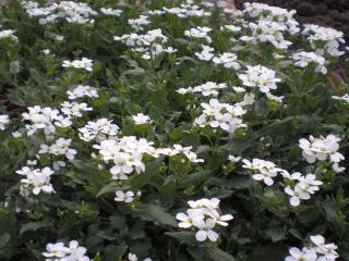 обои Мно-много белых цветов фото