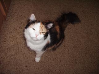 обои Кошка Асилиса фото