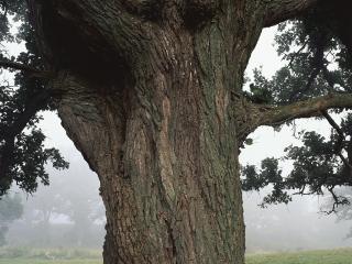 обои Большой ствол дерева фото