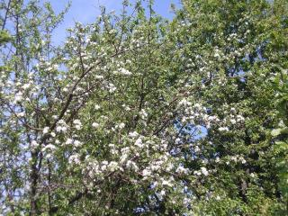 обои Весеннее дерево в цветах фото
