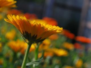 обои Яркая оранжевая календула фото